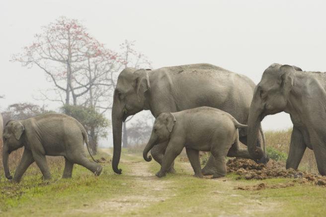 En flokk med elefanter som krysser en skogsvei