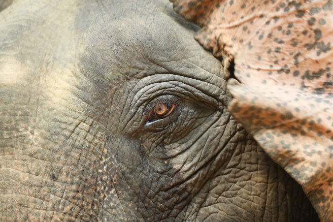 Nærbilde av øyet til en asiatisk elefant