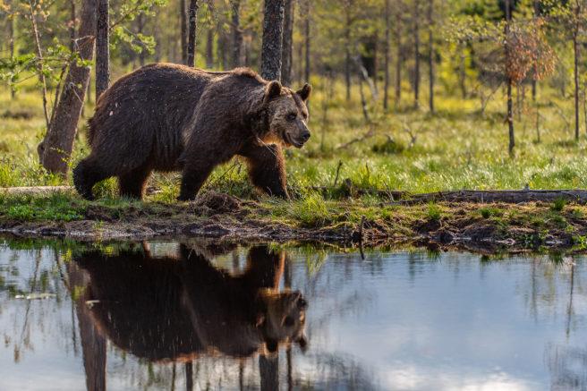 Brunbjørn som går langs et vann