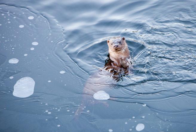 En oter oppholder seg i vannet mens den kikker på fotografen.