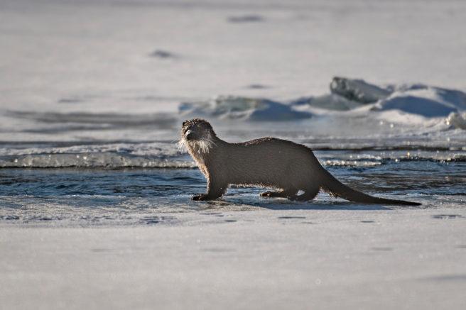 En oter står på land i et isdekket område.