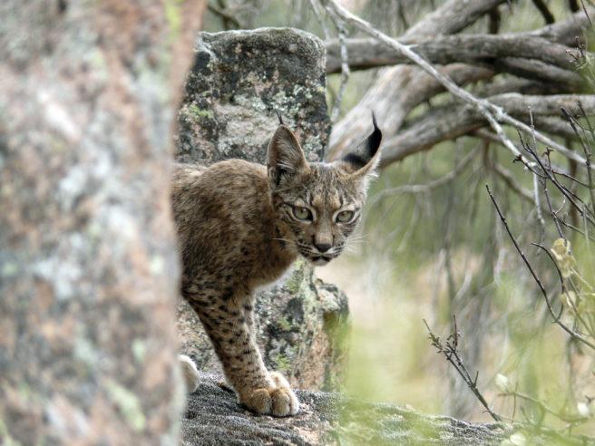 En pantergaupe som går i skogen kikker inn i kameraet