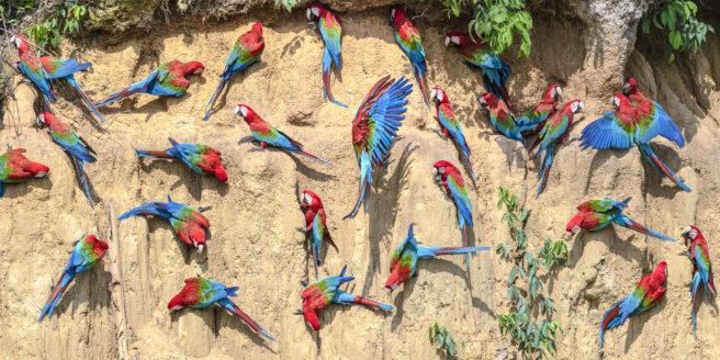 En flokk grønnvingerødaraer sitter på en leirvegg i Peru.