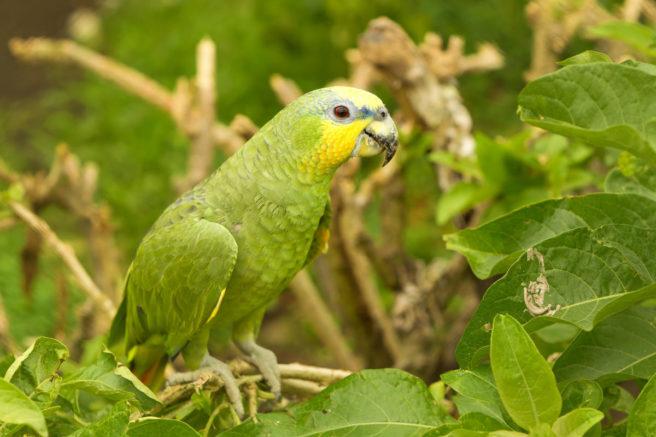 En gullkronet amazonpapegøye sitter på en grein.