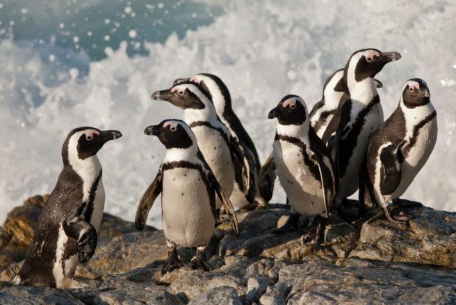 En gruppe kappingviner i vannkanten.