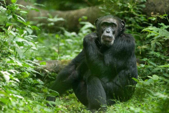 En voksen sjimpanse sitter på bakken.