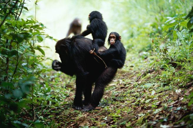 To sjimpanseunger sitter på morens rygg.