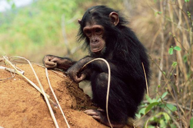 En ung sjimpanse graver frem termitter med en pinne.