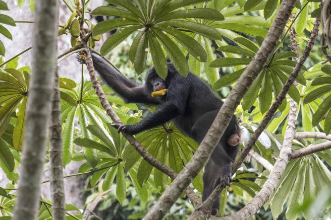 En sjimpanse klatrer i et tre med en frukt i munnen.