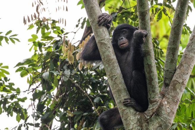 En sjimpanse kikker på fotografen fra toppen av et tre.
