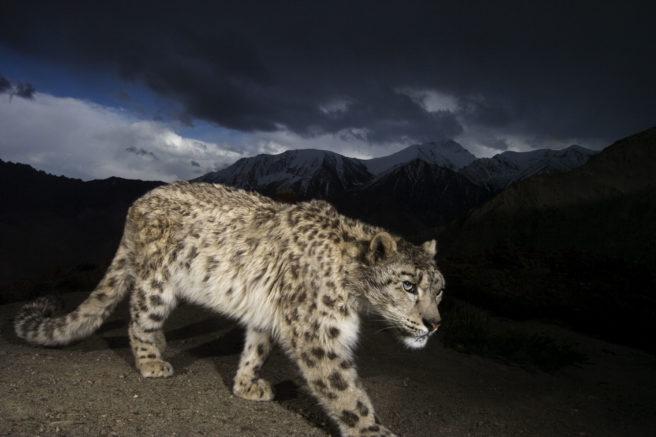 En snøleopard som passerer et kamera på natten.