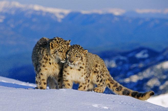 To snøleoparder som koser