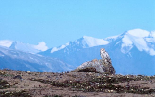 En snøugle sitter på en stein med høye fjell i bakgrunnen