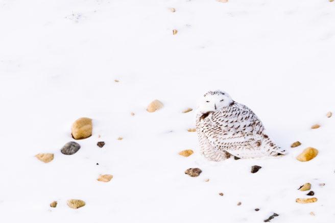 En snøugle sitter på en snøkledd bakke