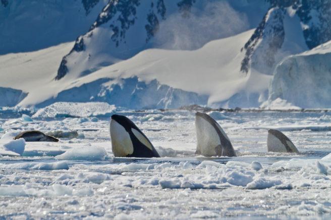 Tre spekkhoggere stikker hodet opp av et islagt hav. Det ligger en leopardsel på et isflak i bakgrunnen.