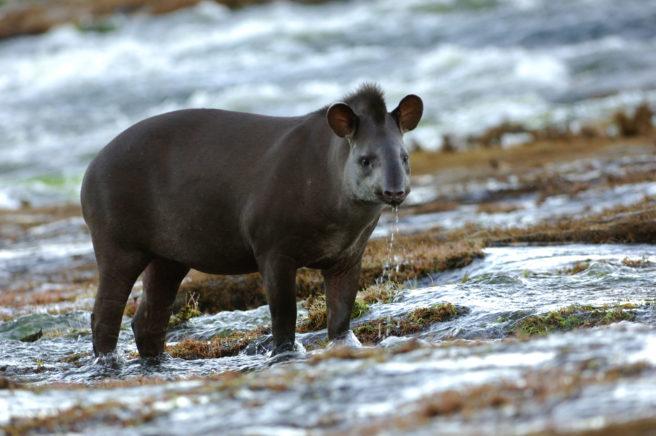 En tapir står og værer ut i lufta.