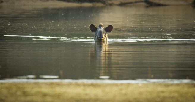 En tapir svømmer i vannet.