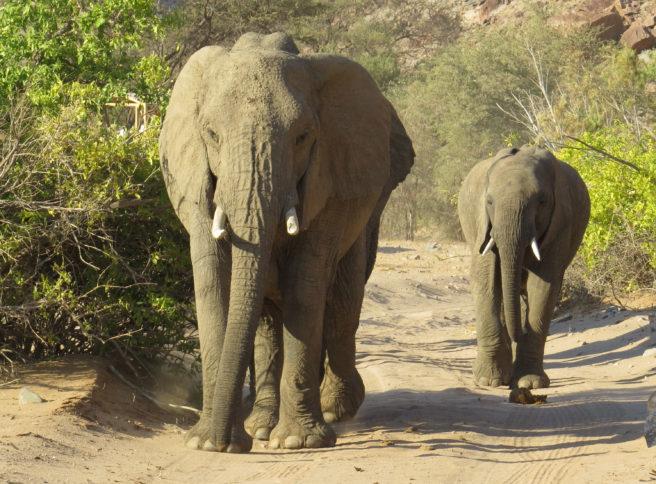 En stor og en mindre elefant kommer gående mot kameraet
