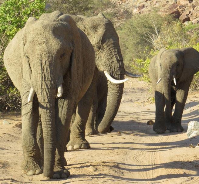 Tre elefanter med kurs rett mot fotografen