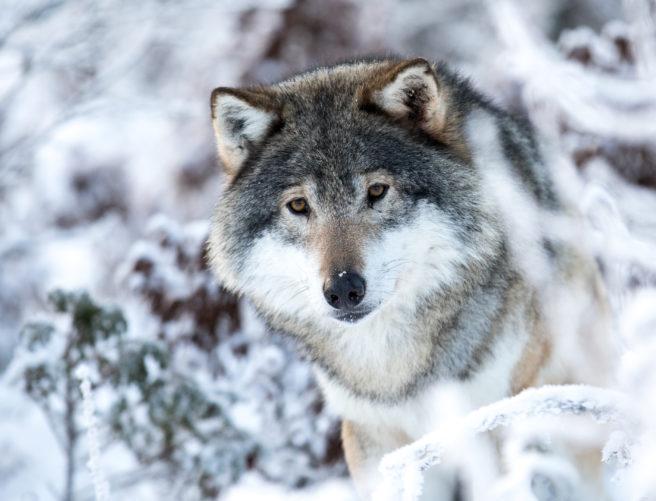 En ulv titter frem mellom snødekte grener.
