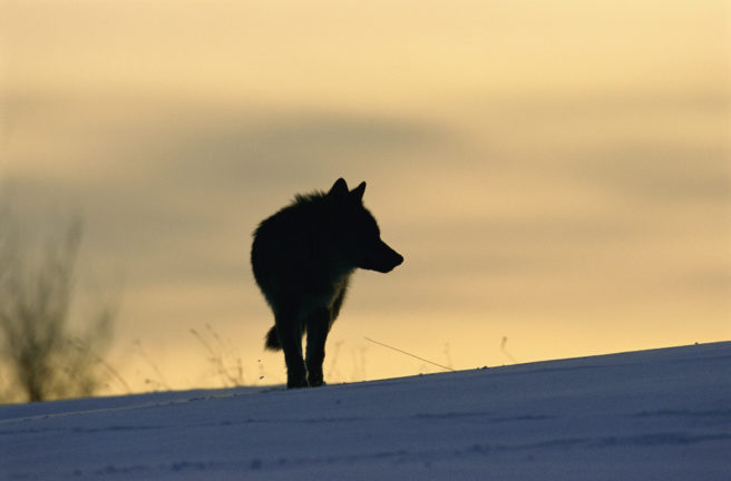 Silhuetten av en ulv i solnedgang