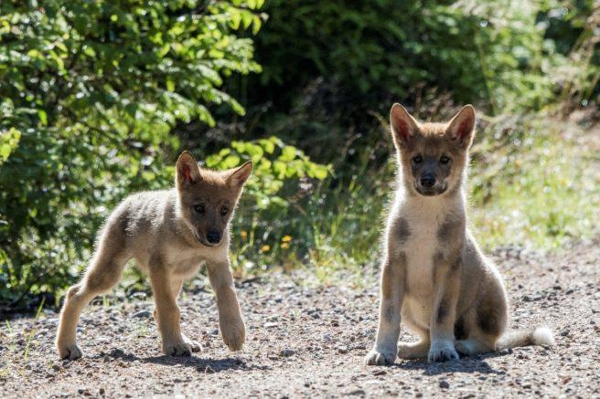 To ulvevalper