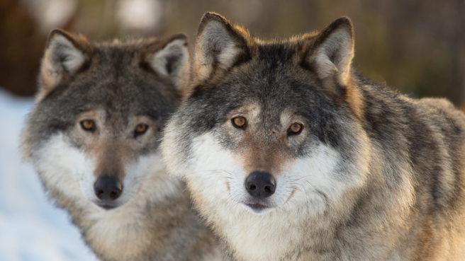 To ulver kikker inn i kamera.