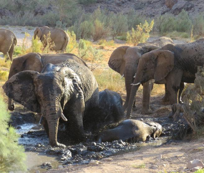 Elefantflokk bader og koser seg i gjørmevann