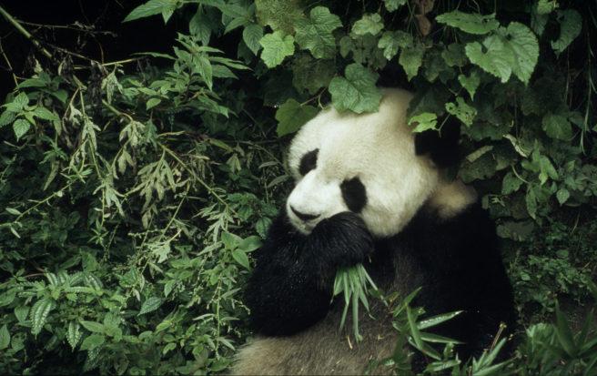 En voksen kjempepanda sitter og spiser bambus i tett buskas