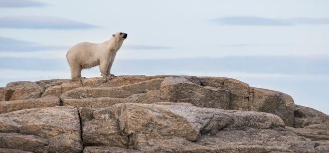 Isbjørn (Ursus maritimus) står på snøfri berggrunn på Svalbard og snuser i luften.