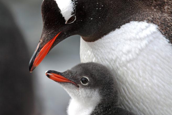 Pingvin foreldre med baby, Antarktis halvøy, Antarktis