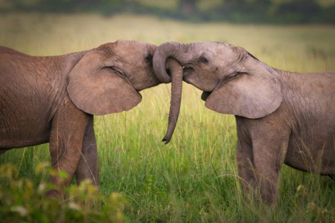 To unge elefanter hilser på hverandre ved å tvinne snabler.