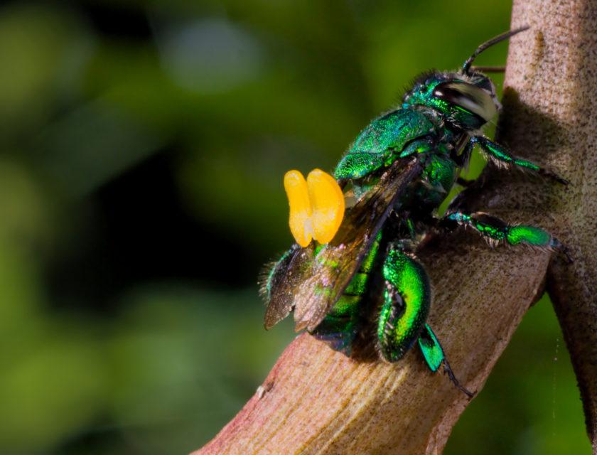 Grønn skimrende bille med gule pollensekker på ryggen sitter på en grein.