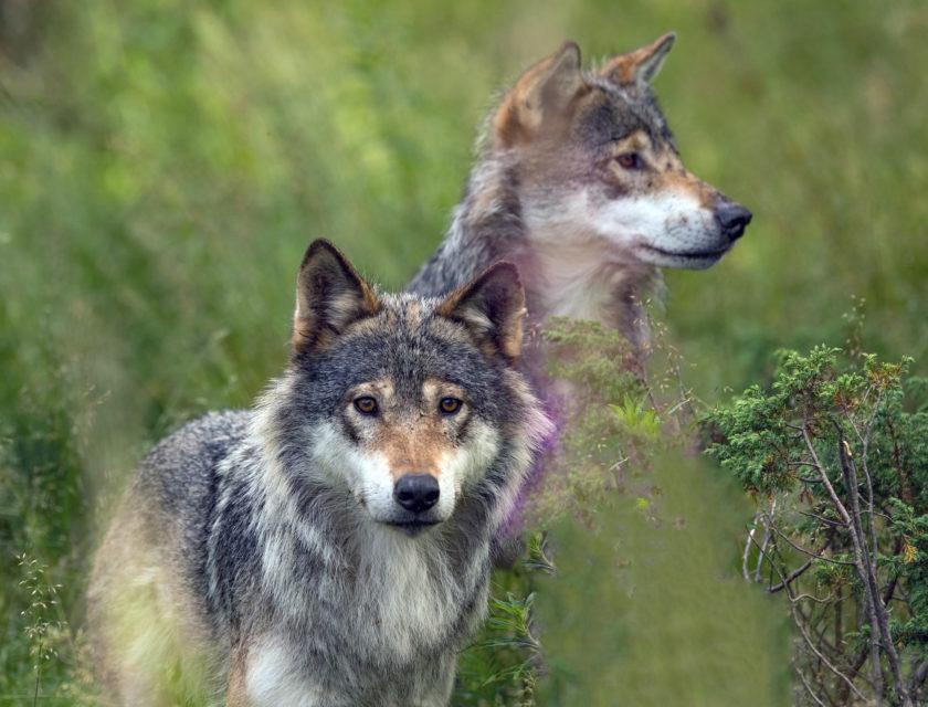 To ulver i en eng