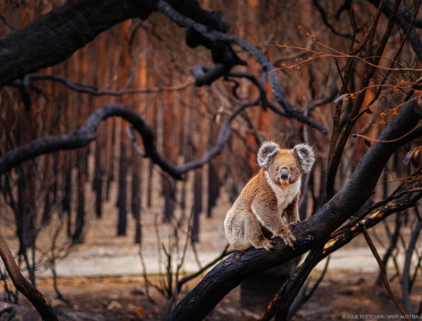 Koala i nedbrent tre