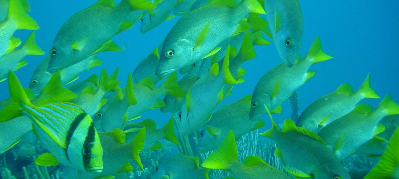 Fiskestim i gule og grønne farger i blått hav