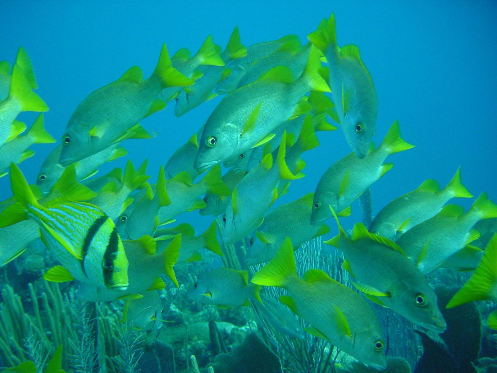 Mange fisker med grå kropper og gulgrønne finner svømmer i blått vann