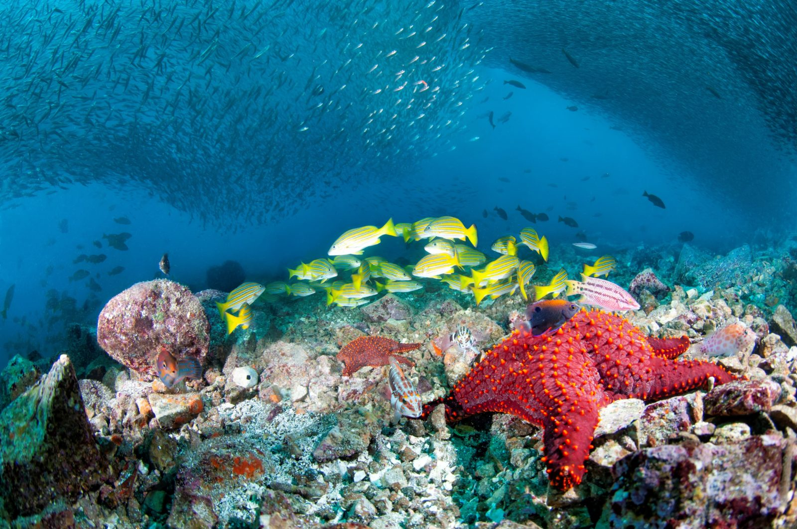 Undervannsbilde av korallrev med yrende liv - fiskestimer og sjøstjerner