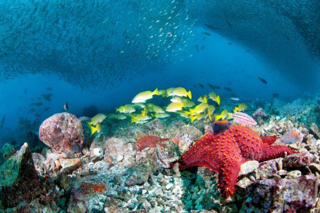 Sjøstjerne og sardinstim utenfor Galapagos, Ecuador.
