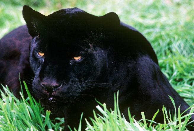 Svart jaguar