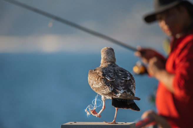 sjøfugl med garn