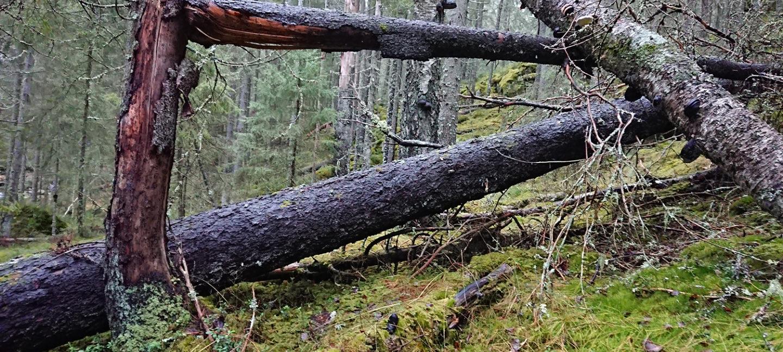Skog med døde trær