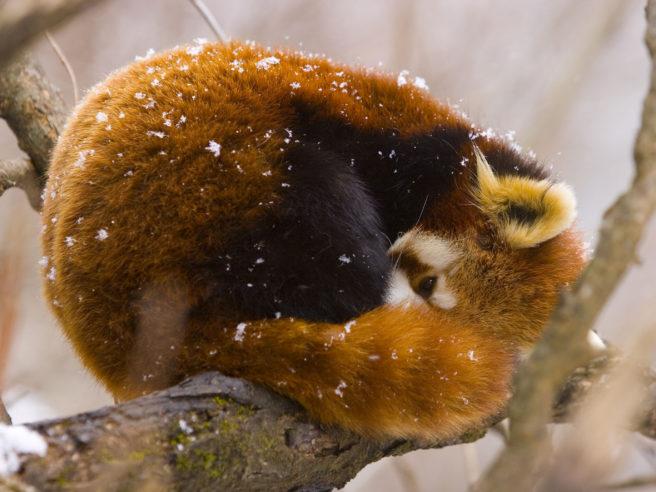 En rødpanda ligger sammenkrøpet med halen rundt seg på en tykk kvist. Det er litt snø på den rødbrune pelsen på ryggen, mens snuten og labbene gjemmes under halen.