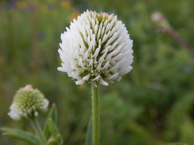 """Bakkekløver i blomst. Det er en blomst med små hvite utstikkende kronblader i en """"ball"""" øverst på stilken."""