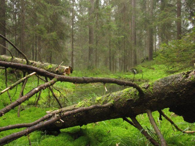 Urørt natur i norsk skog.