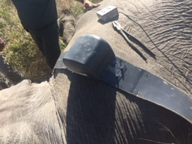Nærbilde av en satelittkrage festet på en elefant