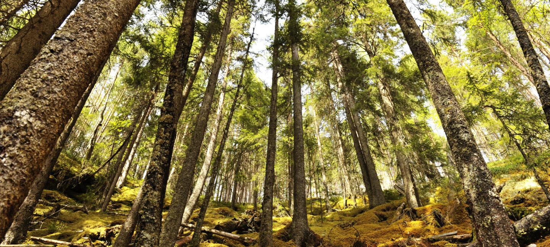 Bartrær i en norsk skog