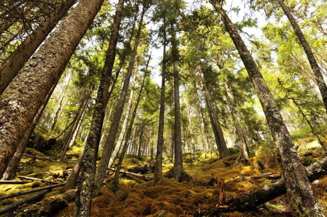 Dypt inne i en norsk skog