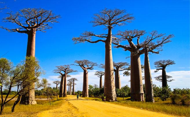 Høye Baobab trær i Madagaskar landskap med blå himmel og gul vei.