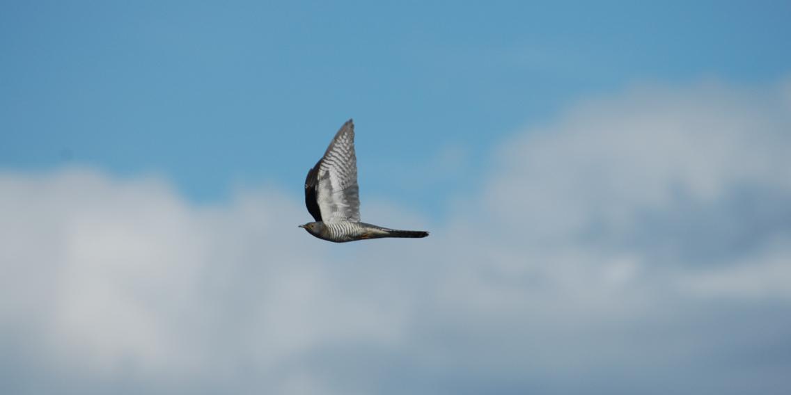 En fugl flyr, vingene peker oppover. Himmelen bak er blå, med hvite skyer.